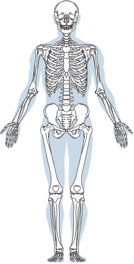 Muscle Bone Incredible Science Online