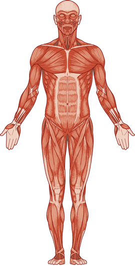 bones muscles Muscles and bones work together in tandem meaning that the muscles attach to tendons and ligaments and the tendons and ligaments attach to bones the muscles pull the bones, causing movement the movements that the muscles make are ultimately controlled by the brain and nervous system the human .